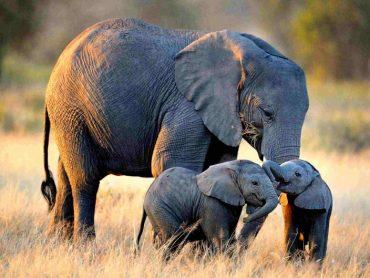 Zimbabwe: Záhadné úmrtia 12 slonov! Čo je príčinou ich smrti!?