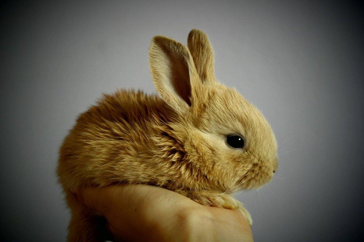 Zakrslý králik! Roztomilé stvorenie, ktoré si však vyžaduje aj svoju  starostlivosť! Jeho láska vyčarí úsmev na tvári každého!