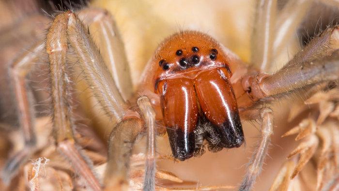 Aj na Slovensku by sme sa mali mať na pozore! Nebezpečný pavúk sa usídlil aj v našej krajine! Spôsobil nielen rozruch, ale aj prvé zdravotné problémy!